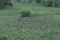 Ichamati-River-Pabna-Bangladesh-Septemter2020-17